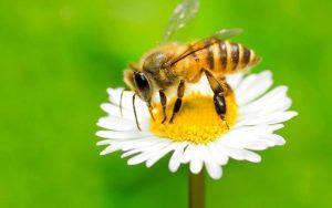 زنبور عسل - خرید عسل طبیعی - عسل عمر را طولانی می کند
